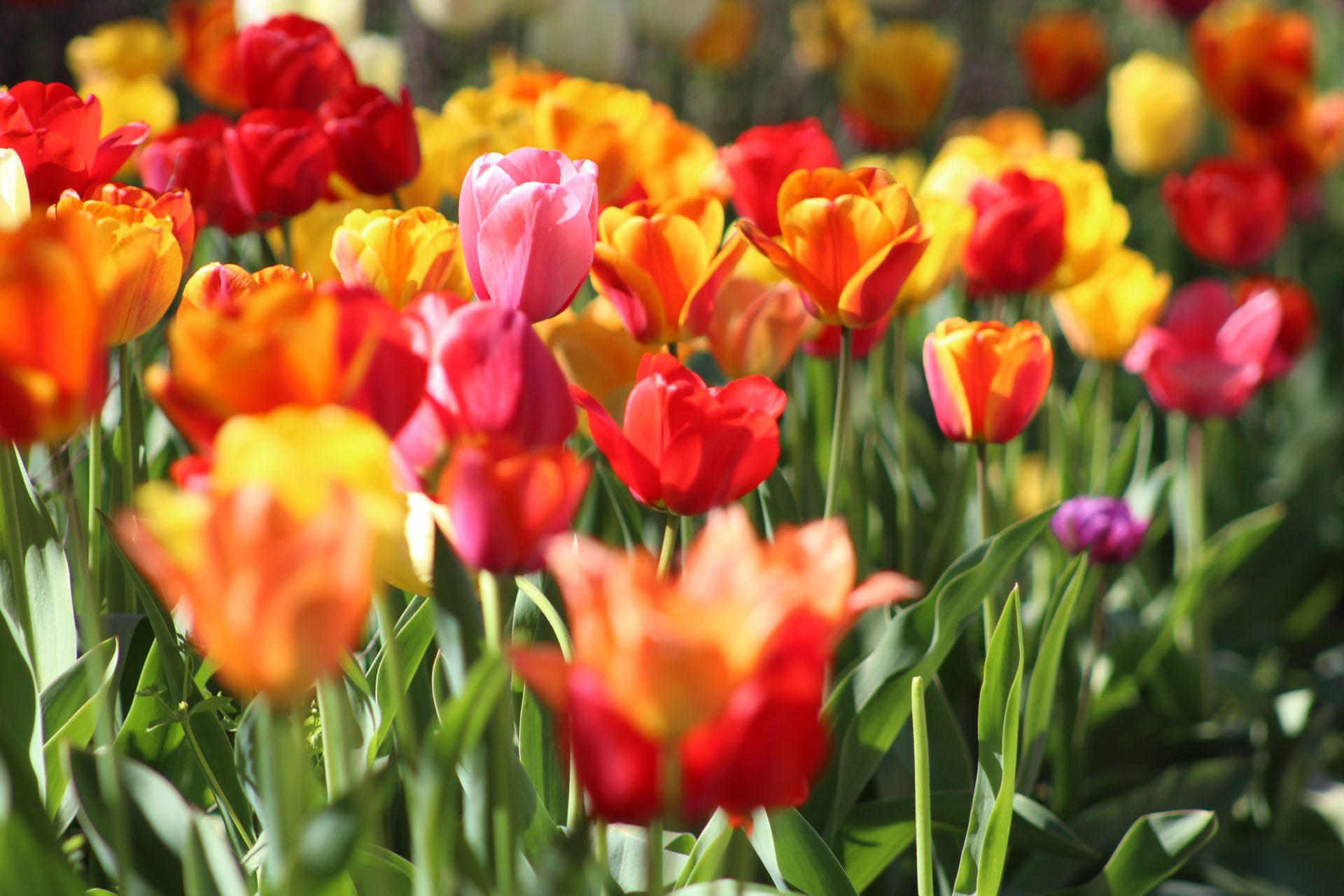 kvety kvetiny zahon tulipany
